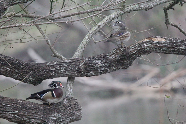 Wood Ducks (Pair)