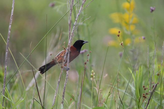 Orchard Oriole (M)