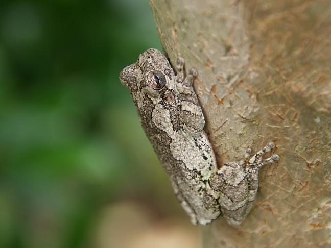 Gray Tree Frog - Here I Am!