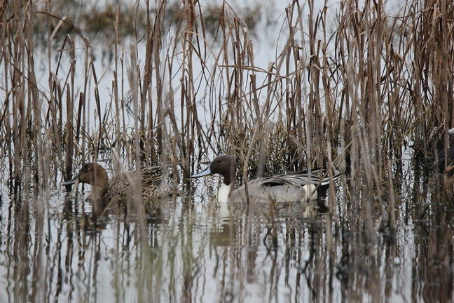 Mated Pair - Northern Pintail