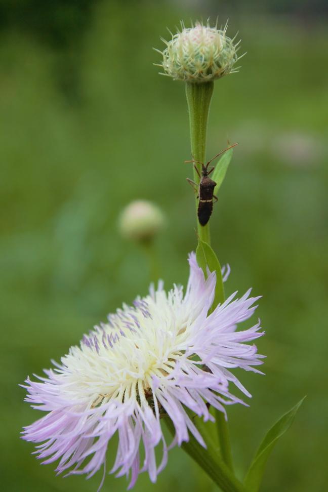 Basketflower Bug