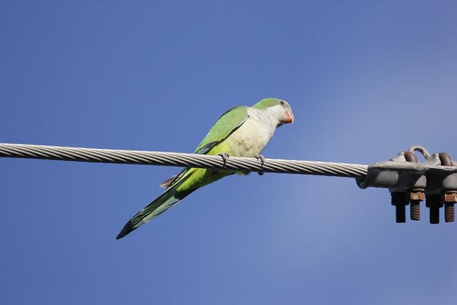 Monk Parakeet (Feral)