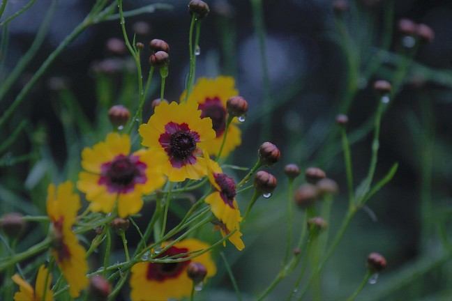 Coreopsis Dewdrops