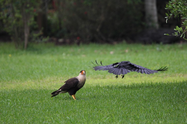 Crested Caracara and American Crow