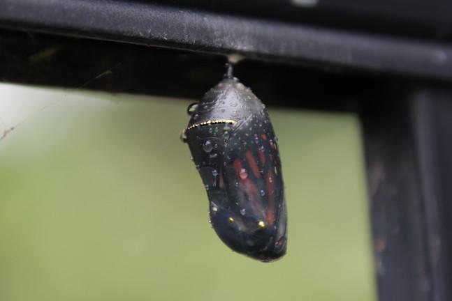 Monarch Chrysalis/Butterfly