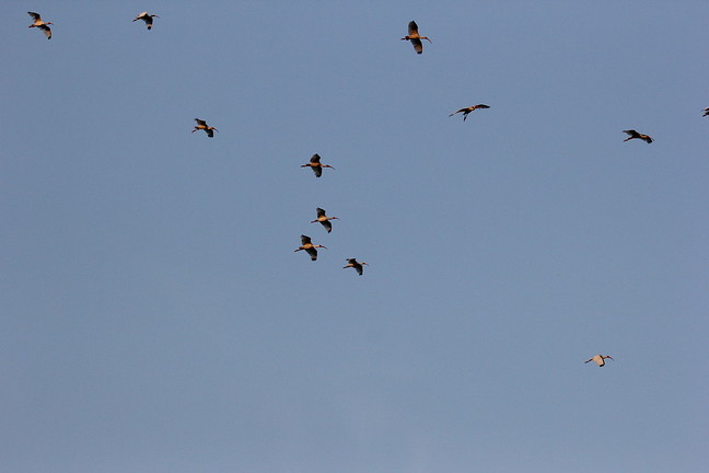 White Ibis Flyover