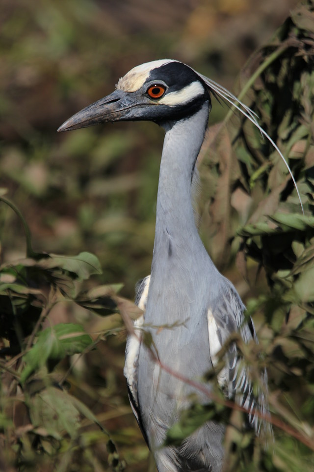 Yellow-Crowned Night Heron, 10/10/2015