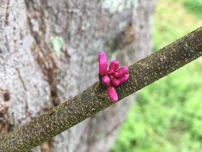 Redbud Blossom