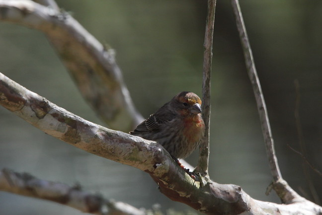 House Finch (Orange Morph)