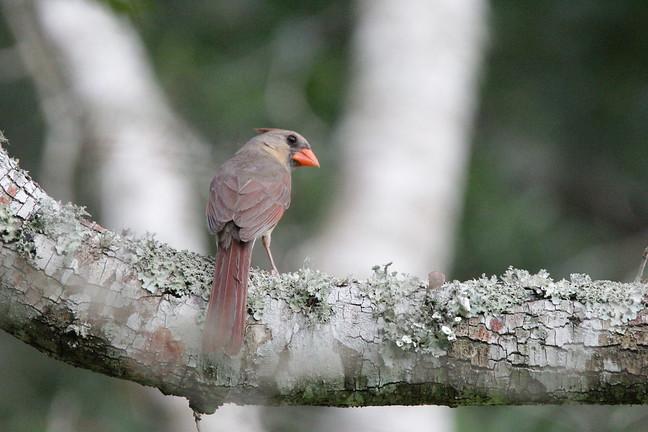 Northern Cardinal, Juv