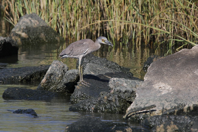 Yellow-crowned Night Heron (Juv)