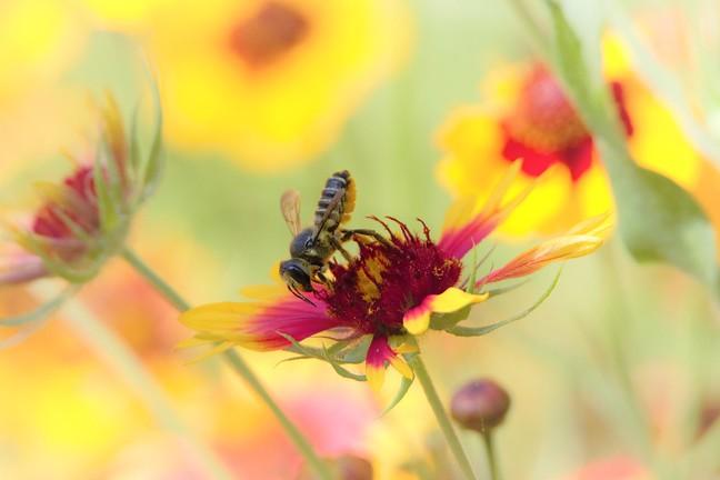 Leaf-cutter Bee and Gallardia