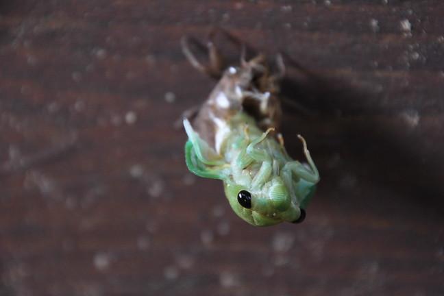 Scissor-grider Cicada