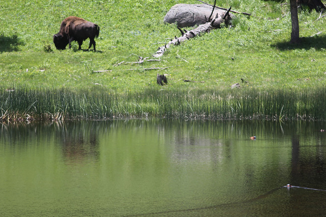 Ruddy Duck (and Bison)