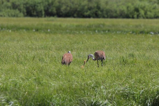 Sandhill Cranes (family)