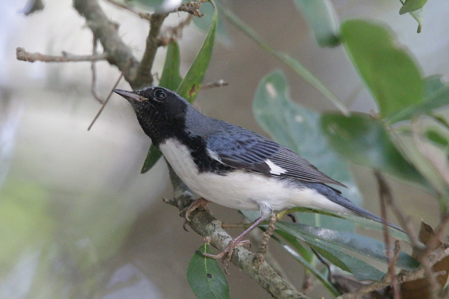Black-throated Blue Warbler (LIFER!)