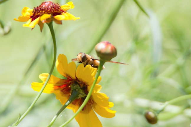 Poecilanthrax lucifer (Bee)