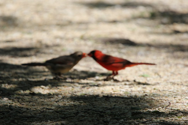 Lovebirds - Northern Cardinal