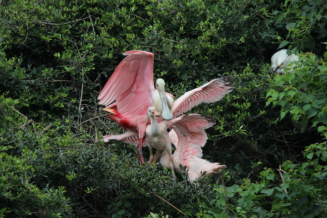 Roseate Spoonbill (Female and Chicks)
