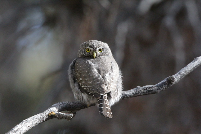 Northern Pygmy Owl LIFER!