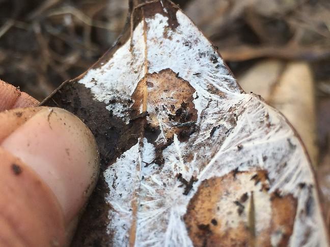 Leaf Mycelium