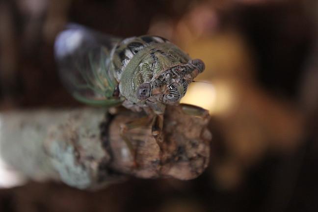 Scissor-grinder Cicada