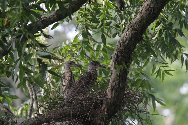 Yellow-crowned Night Heron (chicks)