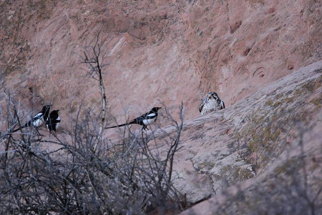 Magpie and Prairie Falcon
