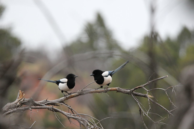 Black-billed Magpie Couple