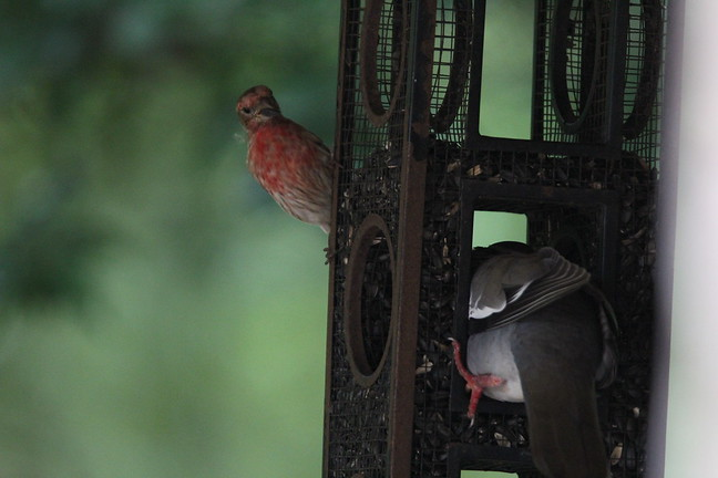 House Finch and White-winged Dove