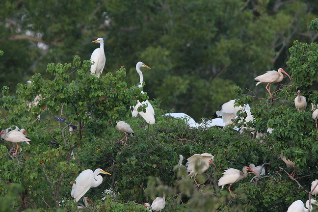 Great Egret and White Ibis