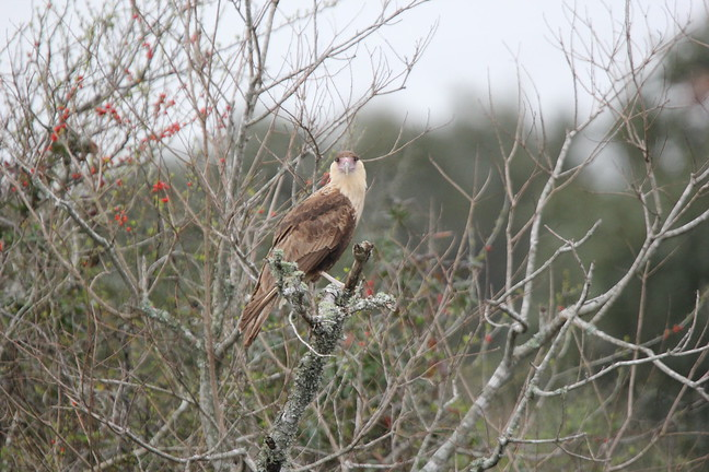 Crested Caracara (Mexican Eagle)